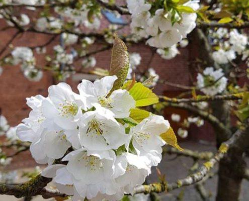 Blühende Kirschblüte