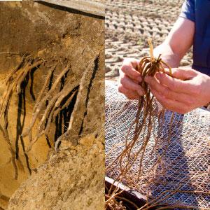 Spargelanbau, Pflanzung, pflanzen, Spargelpflanzen in den Boden bringen, Garlipp-Spargel